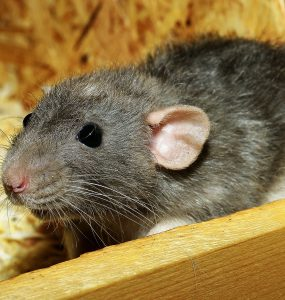 How to Keep Rats Away From the Compost Bin?