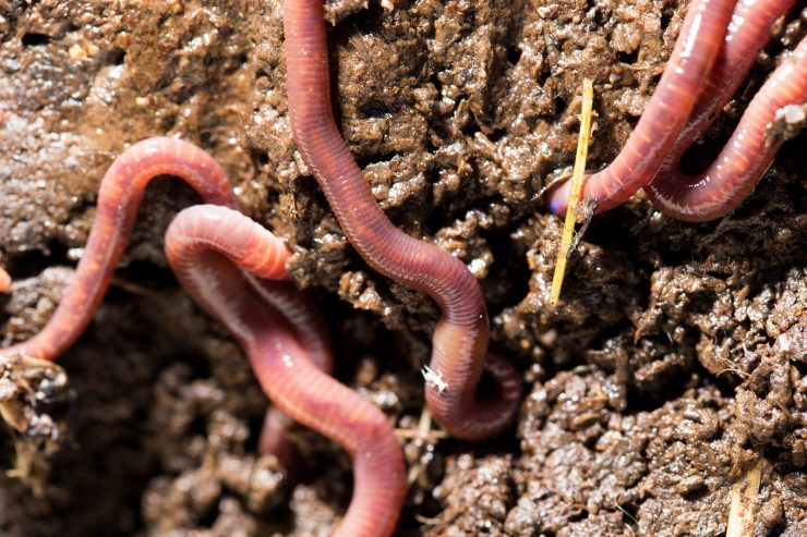 Are-WORMS-Good-for-Compost-and-Gardens
