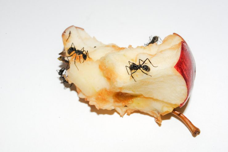 How to get rid of ANTS in my COMPOST pile?